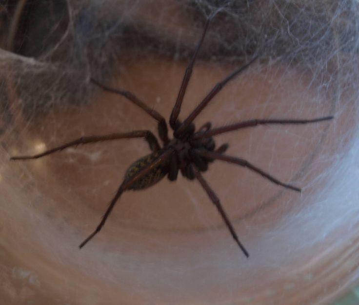 pokoutník domácí pavučina