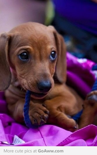Dachshund puppy.....looks like our Danke Doo when she was a puppy