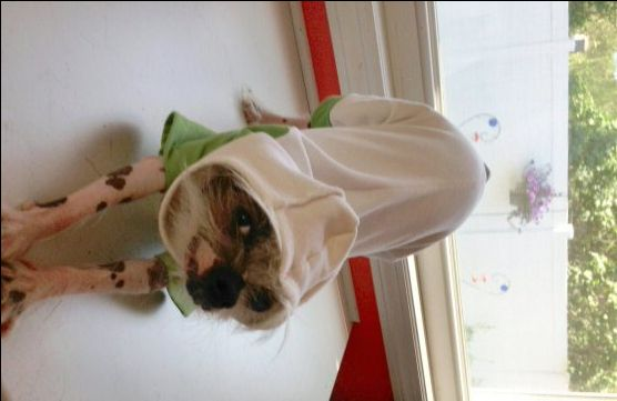 Easy, FREE dog clothes patterns! Great for dog pajamas or everyday wear! Repurpose a t shirt or use your own material. This dog hoodie pattern was designed with my hairless Chinese Crested in mind