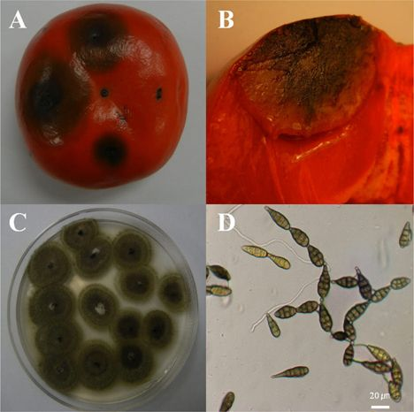 http://www.mycobiology.or.kr/ArticleImage/0184MB/mb-41-167-g001-l.jpg