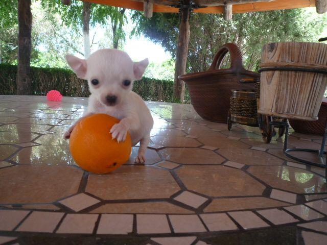 Chihuahua (chiguagua) precio - Criadero Cantillana