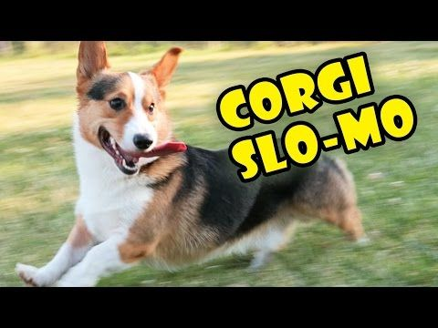 Corgis Running Around And Acting Foolish In Slow Motion. | Dogigy