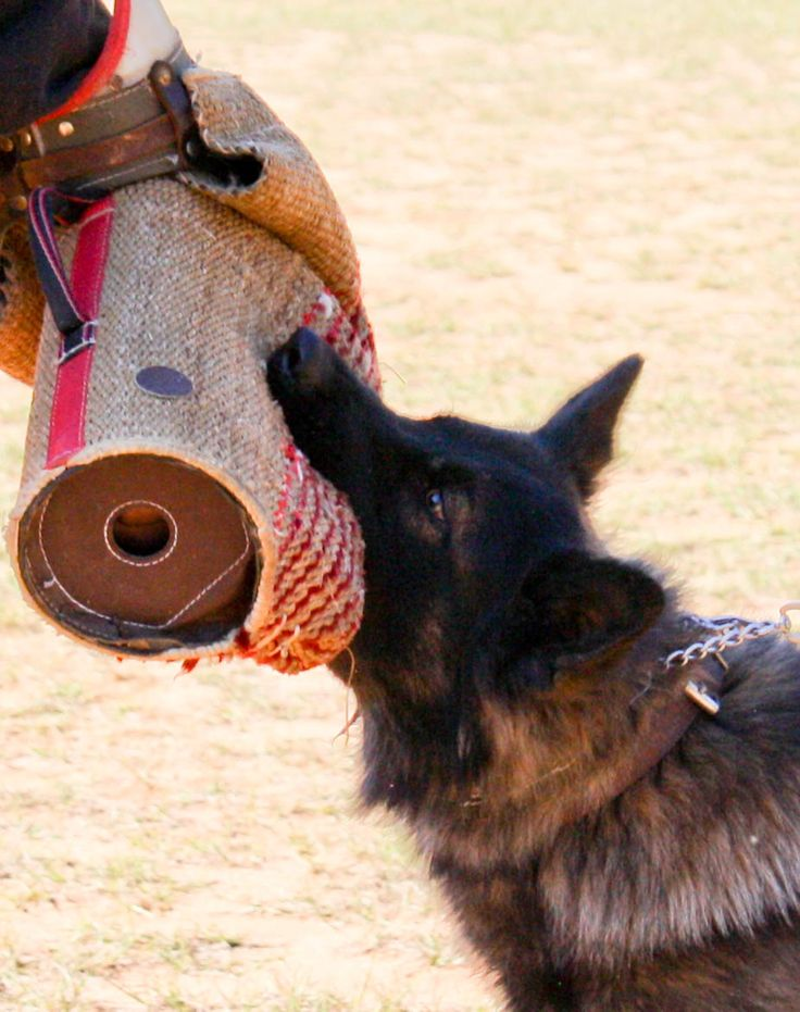 This is my long haired German Shepherd Kato working on his bite work for #Schutzhund.
