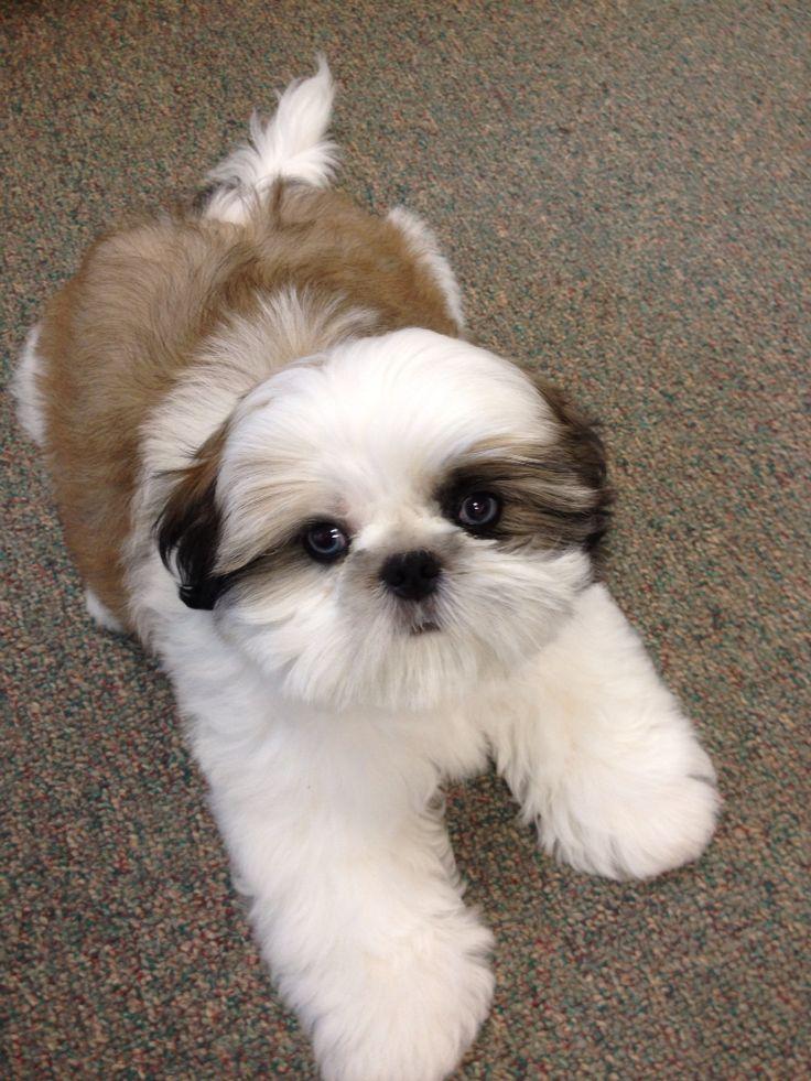 1028 Best Shih Tzu Pictures Images On Pinterest Animal