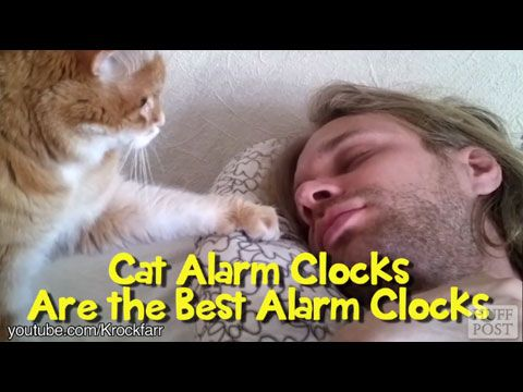 Cat Video: Cat Alarm Clocks Are The Best Alarm Clocks. Who needs a loud, jarring, annoying alarm clock when you can be lovingly woken up by a fluffy warm cat! www.catfaeries.com/videos/2014/12/10/cat-video-cat-alarm-clocks-are-the-best-alarm-clocks/