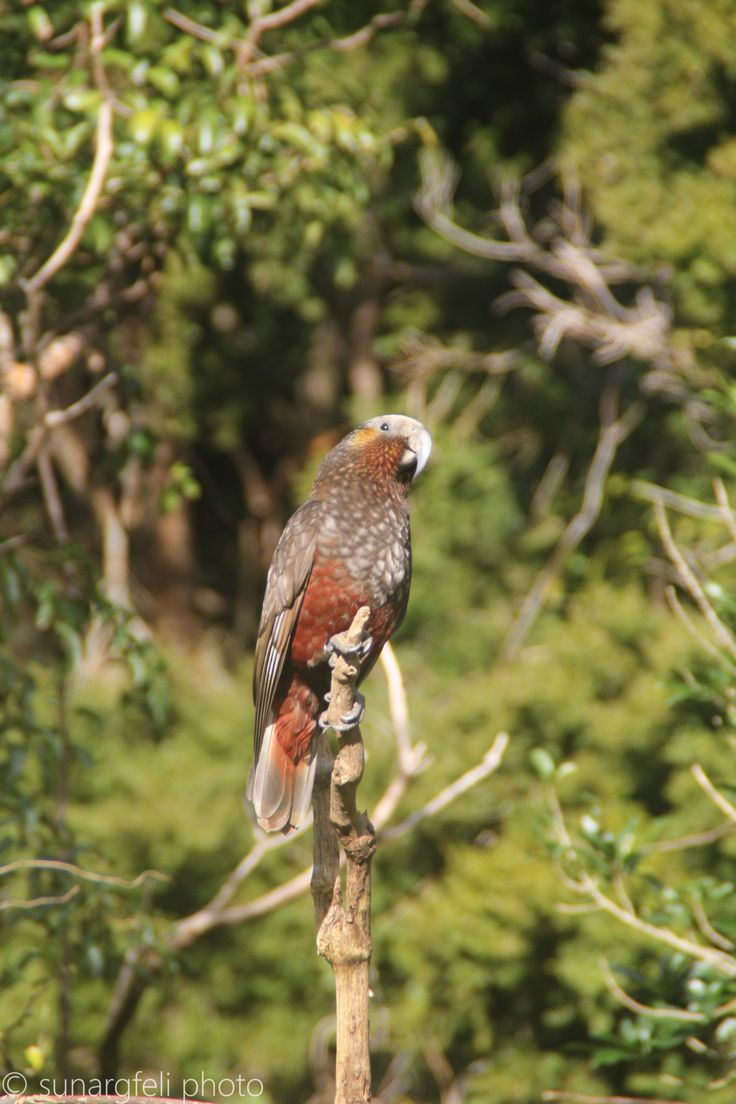Kaka - brown parrot, endemic to New Zealand