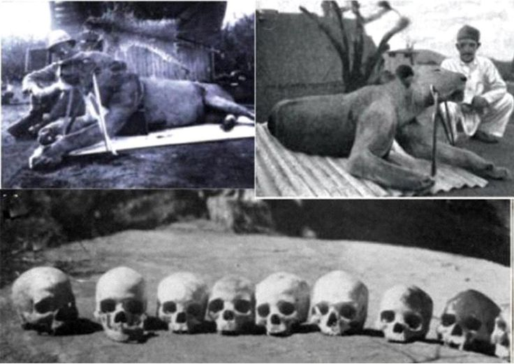 The 'Tsavo Man-Eaters' and their victims. Two lions, known as 'The Ghost' and 'The Darkness', Kenya, 1898