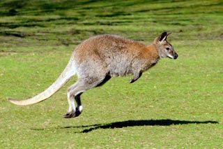 springendes Bennettkänguru