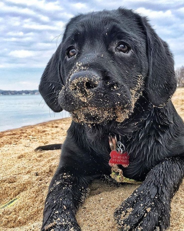 Beach Smell Black Lab Puppies Puppies Lab Puppies