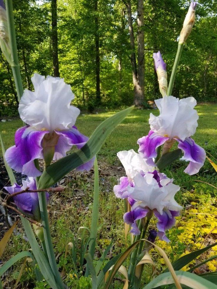 White Irises Peonies In 2020 White Iris Iris Flowers Iris Garden