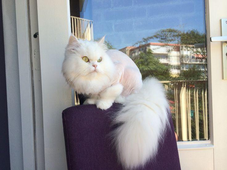 Shaved persian cat / geschoren perzische kat