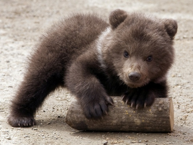 Cute Baby Brown Bears