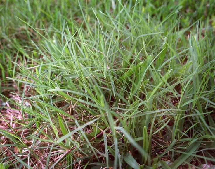 17 Best Ideas About Different Types Of Grass On Pinterest