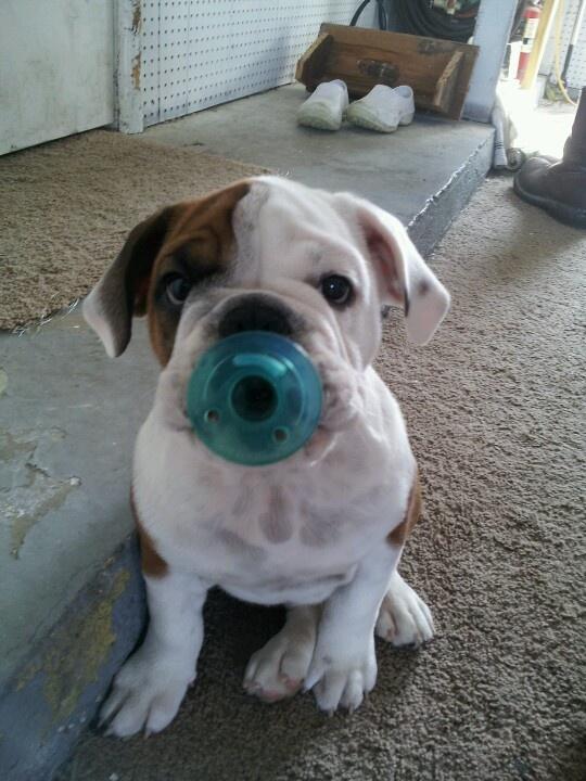 Our Baby English Bulldog