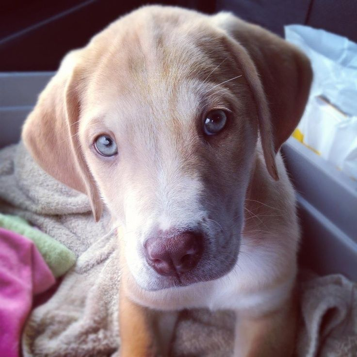 Weimaraner Yellow Lab Mix