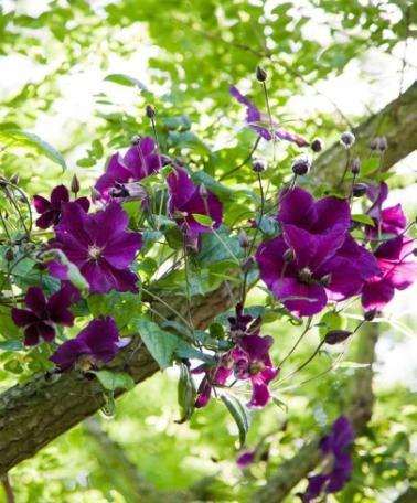 Klemátisz 'Star of India'. Páratlan szépségű fajta, amelynek sötétlila virágai pompásan mutatnak például sötétvörös futórózsák mellett. Hatalmas virágainak átmérője 10-16 cm. Feltűnő helyre ültesse, ahol mindig gyönyörködhet ebben az egzotikus szepségben! Szállítási magassága kb. 25 cm