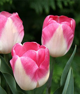 Tulip, Innuendo blooming mid to late spring is an exceptional cut flower
