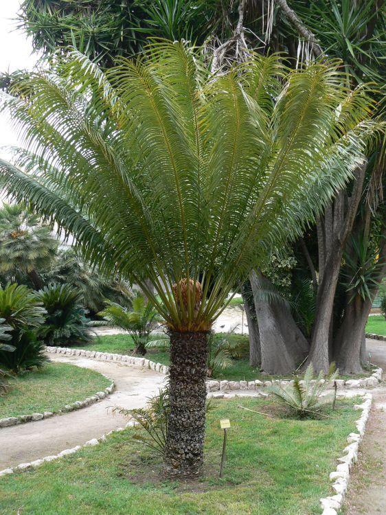 Cycas circinalis - Queen Sago