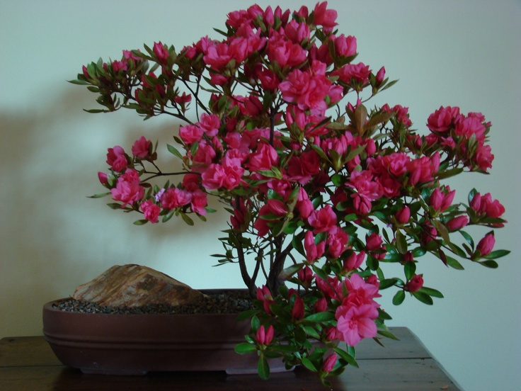 #2 Azalea bonsai (second year in training). Pruning and wiring begins after flowering is finished.