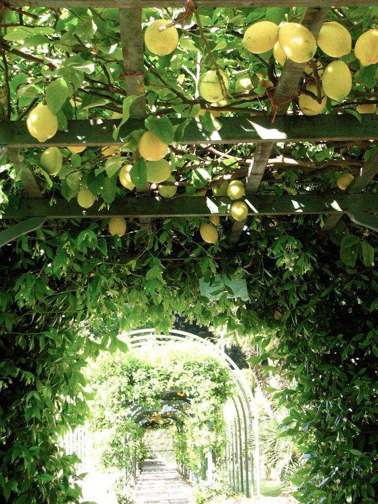 Lemon Trees......Lake Como, Italy