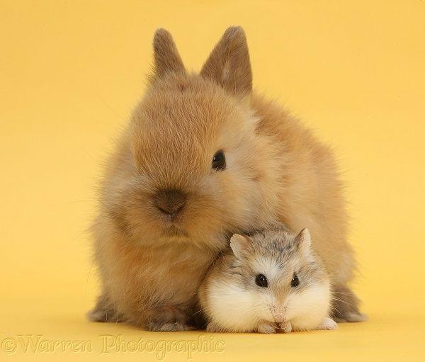 Cute Baby Hamsters | WP39696 Roborovski Hamster ( Phodopus roborovskii ) with cute baby ...