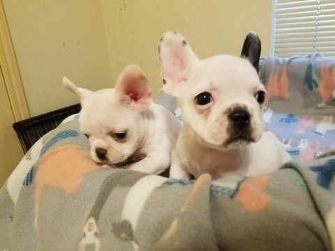 French Bulldog Puppy For Sale In Houston Tx Adn 57851 On