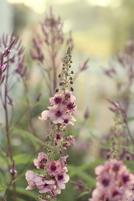 Verbascum...dreams of spring and summer in an old fashioned country garden....One of my favorites!!