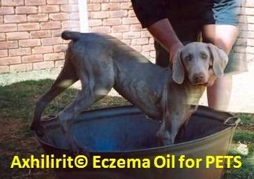 AXHILIRIT© ECZEMA FOR Dogs, Cats, Horses and other PETS.  Our Axhilirit© Eczema Products assists with: Itchy and dry skin conditions and all types of Skin eczema. Axhilirit© Eczema Oil and Cream is safe to use in skin creases. Improves conditioning of skin and assists in healing where blood circulation is compromised.  Contains: Oleoresin, Esterified Vegetable Oil, Pelargonium Graveolens, Tea Tree Oil, Adansonia Digitata, Simmondsia Chinensis www.healing-oil.co.za Buy Online, we ship…
