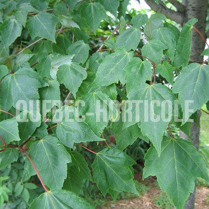 image de Acer rubrum Northwood