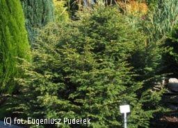 http://www.e-katalogroslin.pl/plants/7325,choina-kanadyjska-many-cones_tsuga-canadensis-many-cones