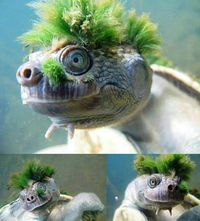 "The Punk turtle (Elusor-filefish), is an aquatic turtle that inhabits the Mary River in Australia, his ""punk"" is formed by algae that have grown it naturally.  This turtle is on the red list of species in danger of extinction"