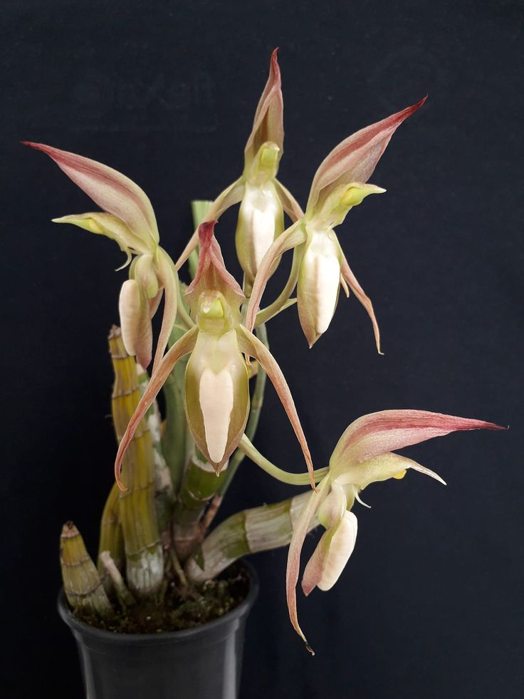 Catasetum tabulare | 蘭花 | 蘭花