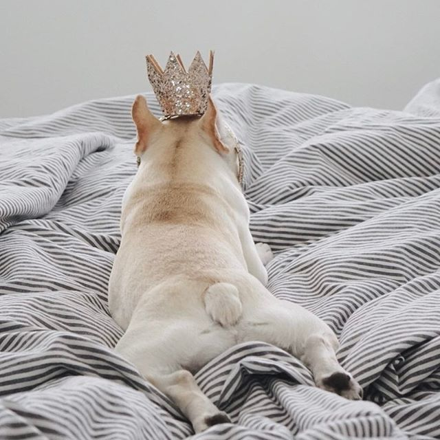'King Frenchie Butt', French Bulldog in a Crown