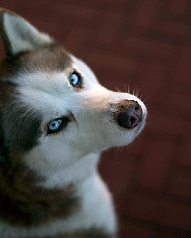 Puppy blue eyes.