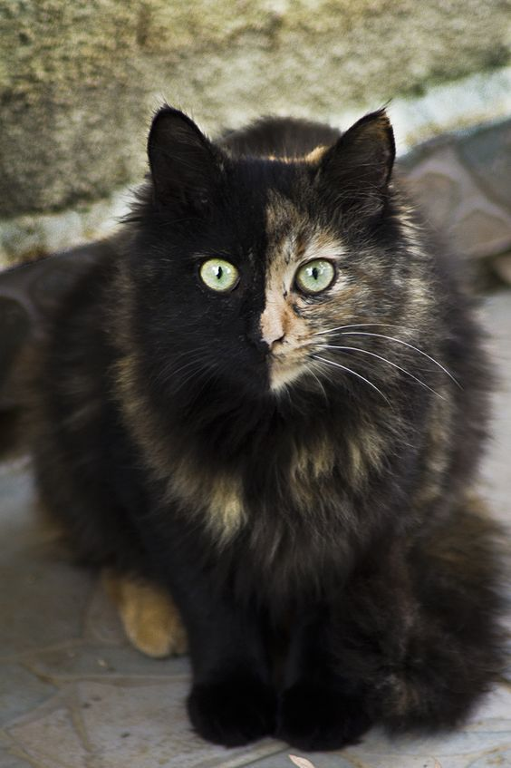 This is the second Chimera cat photo I have seen. Beautiful, unusual cats.