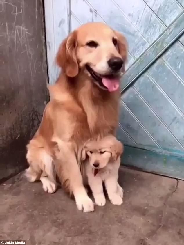 Adorable Video Shows Dog Protect Puppy From Real World Animal