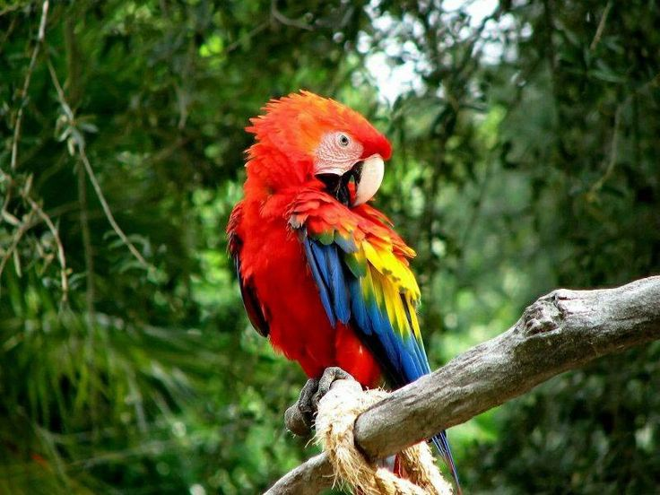 The word of the day is Guacamaya! Beautiful exotic bird! Can be found in South America and some parts of Central America! La Guacamaya es colorida! Have a colorful weekend!! #spanish #learnwords #kids #guacamaya #bailabaila