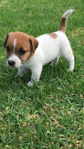 hi I have 2 handsome little boys looking for their home ... They will be registered with the canine control council of Australia on open registration. They will be vet checked, vaccinate, microchipped, wormed and full of mischief !!! Please see outbackjackrussell website for photos of parents ... Please call for information on personality. Thanks for looking  - https://www.pups4sale.com.au/dog-breed/446/Jack-Russell-Terrier.html