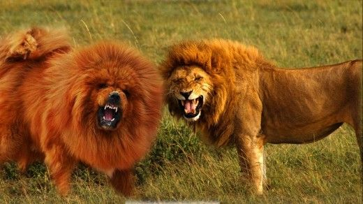 11 Dogs That Look like Wild Animals | Animals, Lion and ...