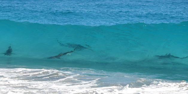 New Smyrna Beach Fl Shark Species
