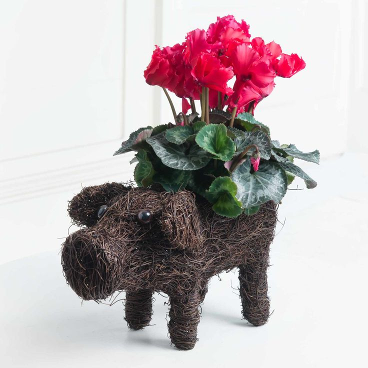 Lord Pigglesworth: Introducing Lord Pigglesworth, our cute pig planter who's artfully carrying a beautiful red cyclamen plant! We're certain this gift will raise a smile this Autumn.