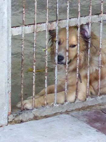 Risso ruhiger spielfreudiger Familienhund sucht dringend ein neues Zuhause. Der ca. 1J. alt und ca. 50-55cmh. Rüde leidet sehr im Tierheim und zieht sich immer mehr zurück. Er ist wachsam liebt Streicheleinheiten und ist sehr verträglich.  Bei Ausreise ist er geimpft gechipt kastriert mit großem Mittelmeertest und EU-Pass Anfragen an:  01622471587