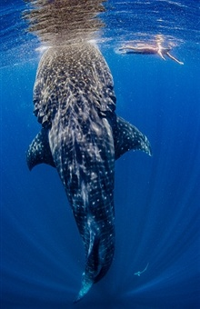 SO want to do this! isla mujeres, mexico swimming with a whale shark