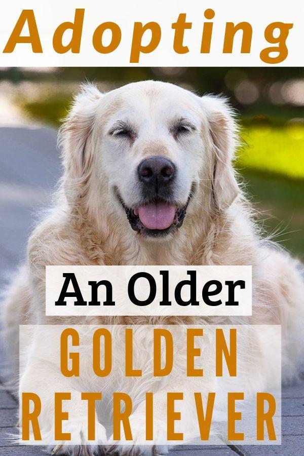 Adopting An Older Golden Retriever Old Golden Retriever
