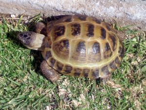 "The horsefield tortoise is also called the ""central Asian Tortoise"""