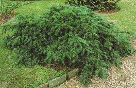 Taxus Baccata, Repandens,