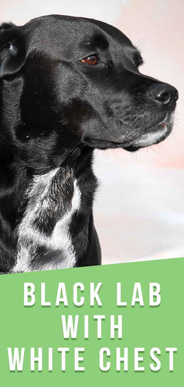 Black Lab With White Chest A Guide To Unusual Labrador Markings In 2020 Black Lab Puppies Lab Mix Puppies Royal Canin Dog Food