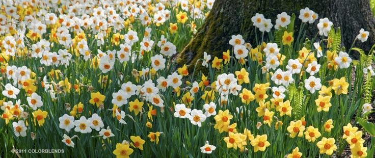 Daffodil Sunshine Boys ™ | Daffodil Blends Bulbs for Sale | COLORBLENDS