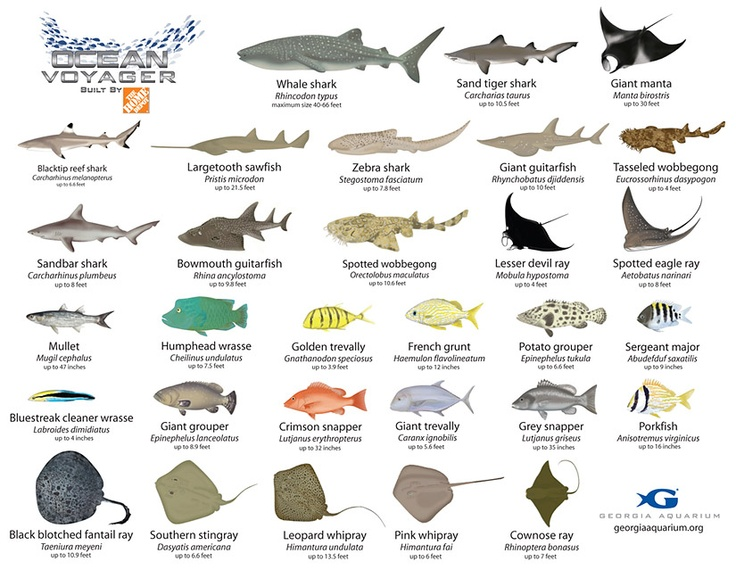 1000 images about sharks on pinterest utila great for White fish types