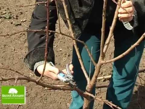 Свой Сад - Урок 10 - Обрезка плодовых ( фруктовых ) деревьев: абрикос и ...